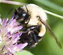 bumble bee9 - Bombus impatiens