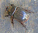 Oddly marked scarab....I can't find any that appear similar. Help?  - Xyloryctes jamaicensis
