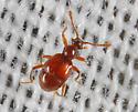 BioBlitz Bug 139 - Reichenbachia