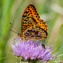 Great Spangled Fritillary? - Speyeria cybele - male