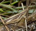 Slant-faced Grasshopper IMG_1944 - Orphulella pelidna - male