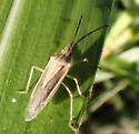 bug - Mecidea