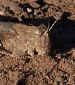 grasshopper, biggish, bandwinged (?) - Conozoa carinata - female