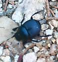 Unknown dung beetle  - Canthon
