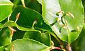 Bioblitz Gall #1 - Eriophyes cerasicrumena