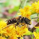 Bee - Halictus ligatus