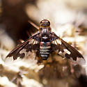 A fly with brown and colorless wings - Exoprosopa