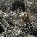 Back Yard Spider - Araneus andrewsi - female