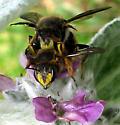 Bees - Anthidium manicatum - male - female
