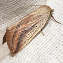 Feeble Grass Moth - Hodges #9818 - Amolita fessa