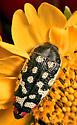 unknown bug - Acmaeodera paradisjuncta