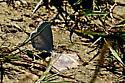 Unknown Butterfly - Celastrina