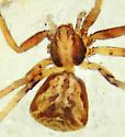 P. quercicola female? - Philodromus quercicola - female