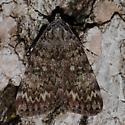 Catocala sp. on Ash Bark - Catocala