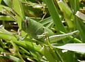 Unknown Grasshopper spec. - Schistocerca