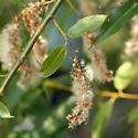 Willow Gall - Pontania