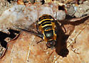 Orange County Bee Fly Archives #266 - Villa