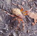 Orb Weaver Spider - Araneus marmoreus