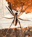 Spider on porch - Pisaurina mira