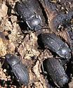 Darkling Convention - Alaetrinus aciculatus