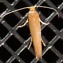 Golden Colored Moth - Tischeria