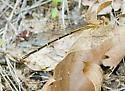 Brown Damselfly - Argia apicalis - female