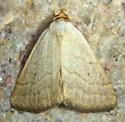 Owlet Moth - Oxycilla tripla
