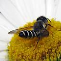 Leafcutter bee  - Megachile pugnata - female