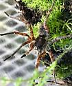 Wolf spider but what kind? - Tigrosa - male