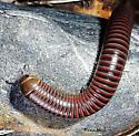 millipede - Tylobolus
