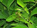 Erythemis vesiculosa - male