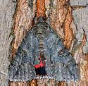 Moth on tree - Catocala faustina
