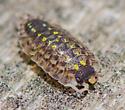 Pillbug/Sowbug type? - Porcellio spinicornis