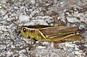 Melanoplus bivittatus ? - Melanoplus bivittatus - female