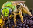 Green bee - Agapostemon virescens - female