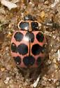 Ladybug - Calvia quatuordecimguttata