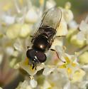 Syrphidae - Platycheirus - male