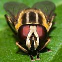 Drone Fly?? - Helophilus hybridus