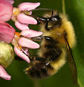 Bumble bee450 - Bombus perplexus - male