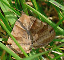 Forage Looper - Caenurgina erechtea