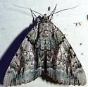 9/16/18 moth 2 - Catocala vidua
