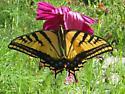 Papilio multicaudata - female