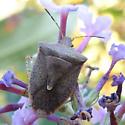 Stinkbug (Genus Euschistus) - Euschistus variolarius