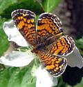 Which crescent? - Phyciodes tharos