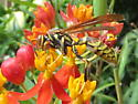 Common Paper Wasp on Narrow Leaf milkweed - Polistes exclamans