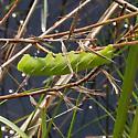 unk caterpillar - Eumorpha fasciatus