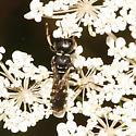 Crabronidae ? - Ectemnius dives