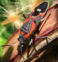 soldier beetle? - Lygaeus kalmii