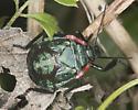 Unknown stink bug - Alcaeorrhynchus grandis