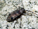 Long-horned Beetle - Hyperplatys maculata